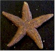 Brown Star- This starfish various in color from brownish to tan