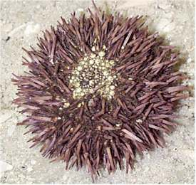 Purple spined sea urchin