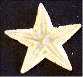 Spiny Beaded Star